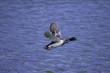 pato en vuelo