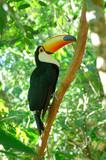toucan toco