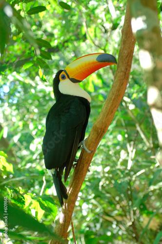 Fotobehang Toekan toucan toco