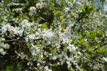 blooming apricot-tree
