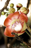 thailand, chiang rai: cannonball flower poster