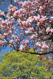 magnolia tree in blossom poster