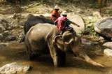 thailand, chiang mai: elephant bathing poster