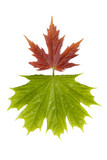 maple leaves 3 poster