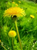 dandelions on the meadow poster