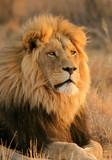 Duży lew