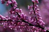 cherry blossom limb poster