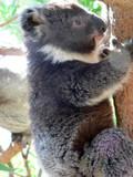 koala cub climbing poster