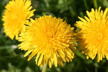 young dandelions