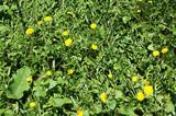 dandelions in grass poster