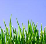 Fototapeta green grass