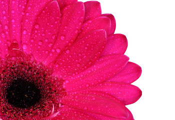 gerbera daisy in the corner