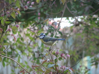 blue tit in clematis