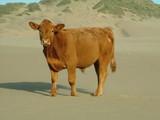 california cow poster