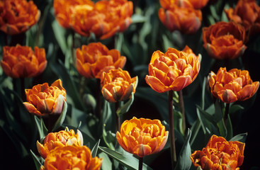 double orange tulips
