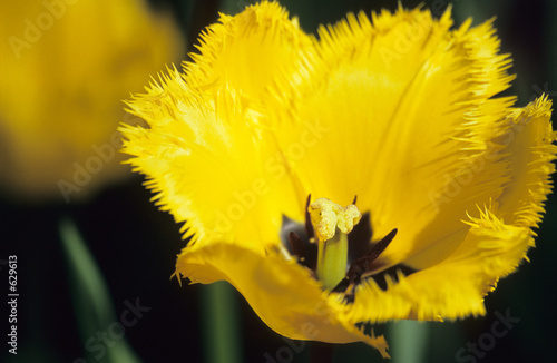 yellow fringed tulip close-up