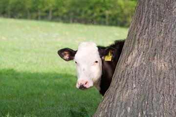 peeping cow