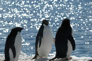 three adelie penguins