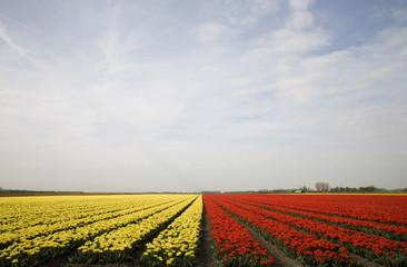 tulip field 10