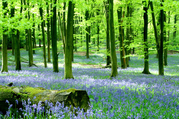 bluebells at micheldever
