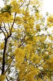 thailand, chiang mai: wat jedyod temple, golden shower tree poster