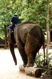 thailand, chiang mai: elephant performance poster