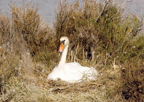 poster of cygne sur son nid