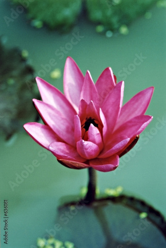 red-pink water lily