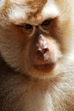 thailand, koh samui: monkey poster