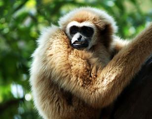 thailand, koh samui: monkey