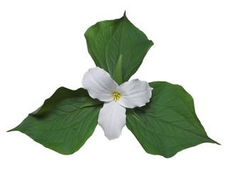white trillium with leaves