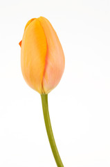 beatiful tulip