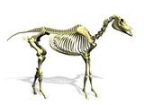 horse skeleton poster