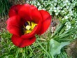 tulip red