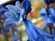 an english blossom