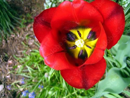opened tulip