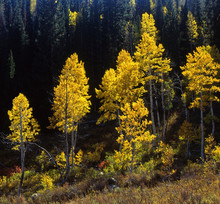 uinta forest aspens 4, (h)