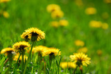 blooming dandelions poster