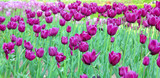 tulipe royale green poster
