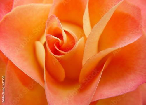 Fototapeta orange rose