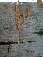 termite tunnels,