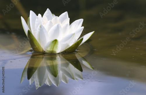 Deurstickers Lotusbloem white delicate water lily