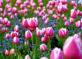 rosa tulpengruppe