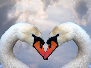 love and swans
