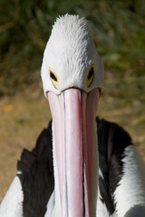 pelican head shot