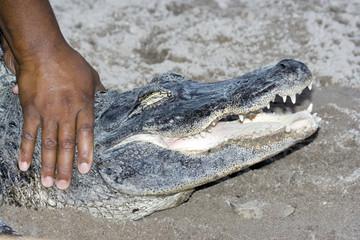 aligator3710