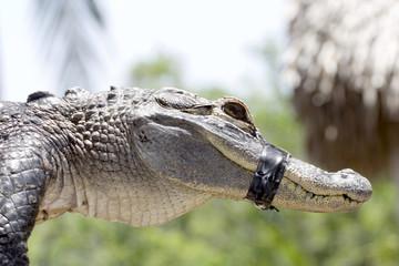 aligator3719