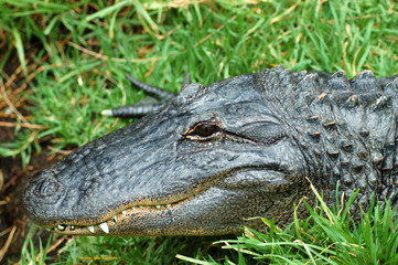 north american alligator head
