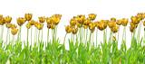 tulipe royale jaune fond blanc poster