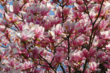 blooming magnolia poster
